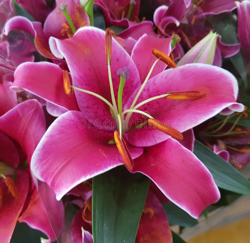 Lis magnifique en fleur photographie stock libre de droits