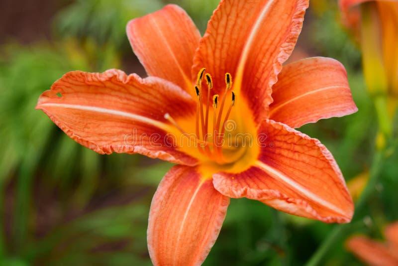 Lis orange en pleine floraison photographie stock libre de droits