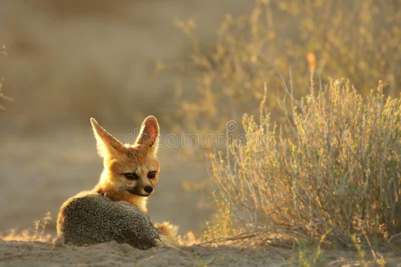 Lis przylądkowy Vulpes chama leżący na piasku na pustyni Kalahari zdjęcie royalty free