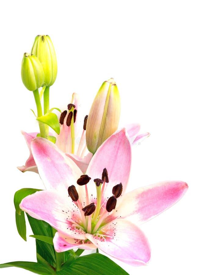 Lis rose avec la fleur et les bourgeons d'isolement sur le blanc, montant images stock