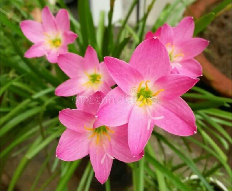 Lis roses de pluie photographie stock