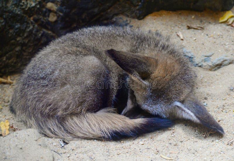 lis słyszący nietoperza zdjęcia stock