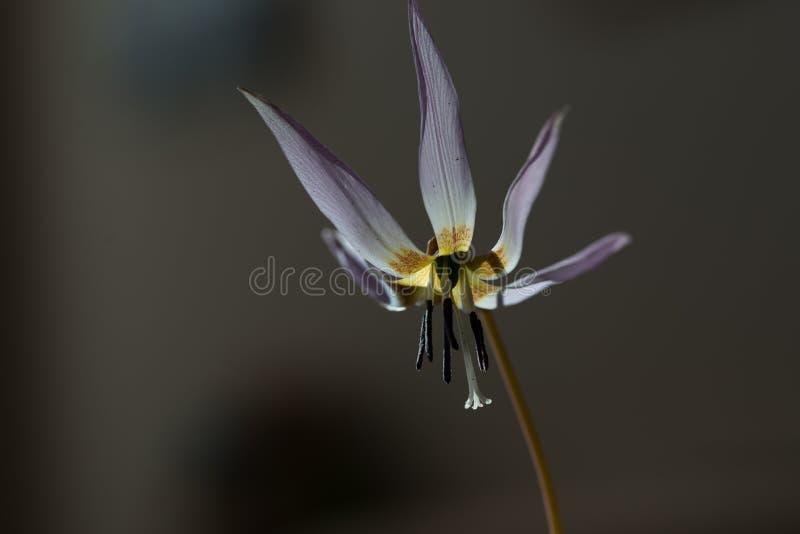Download Lis Sauvage, Repaire-canis D'Erythronium Image stock - Image du nature, décoration: 87700587