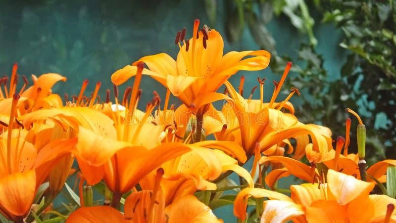 Lis tigré orange de lis du feu de lis de bulbiferum de Lilium dans le jardin muré en Irlande photographie stock