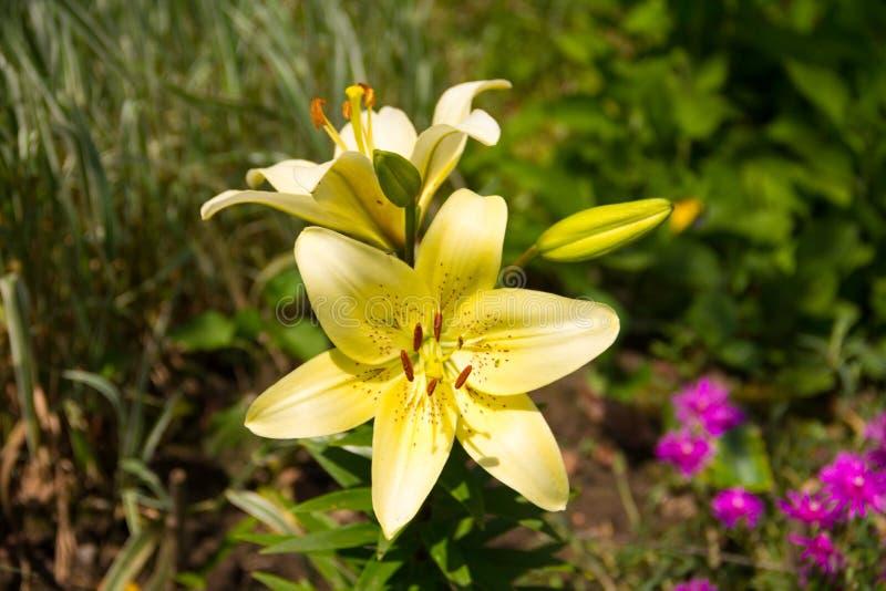 Lis tigré solaire avec les fleurs et les bourgeons ouverts d'un jour ensoleillé lumineux photo stock
