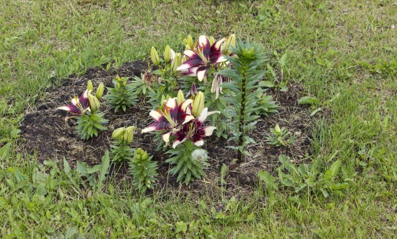 Lis tigr? orange de floraison dans le jardin pendant l'?t? images libres de droits