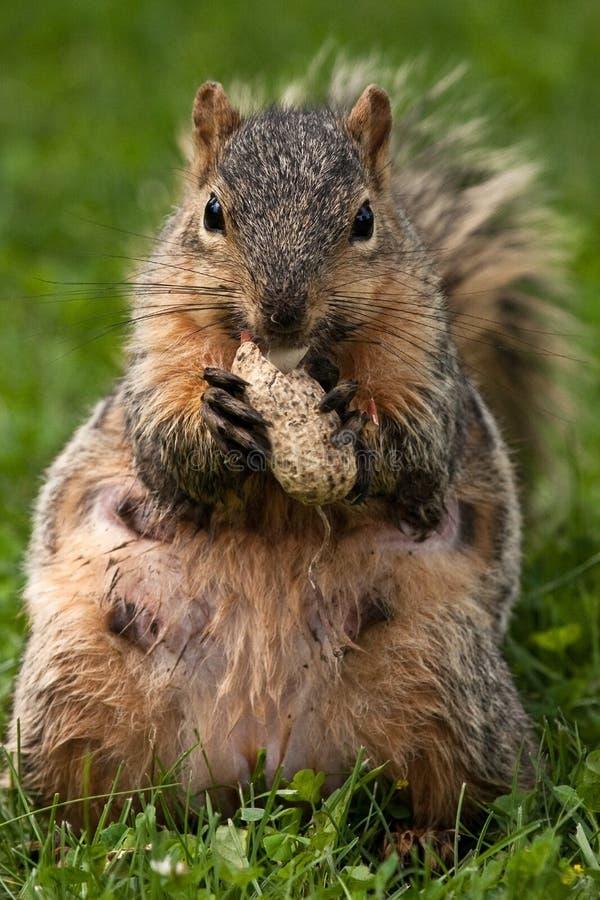 lis wschodnia żeńska wiewiórka zdjęcie stock