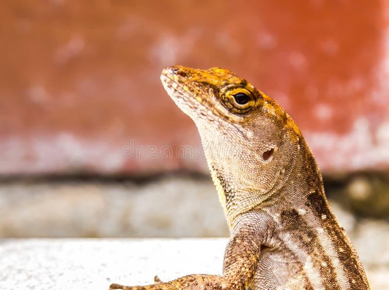 Lizard  on the Wall stock photo