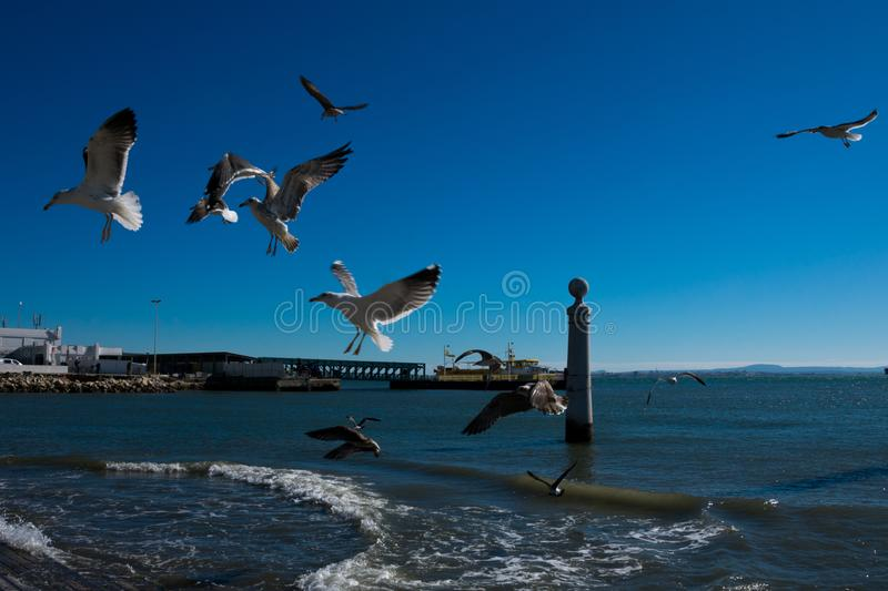 Seagulls flying waiting to be fed. Tagus river royalty free stock photo