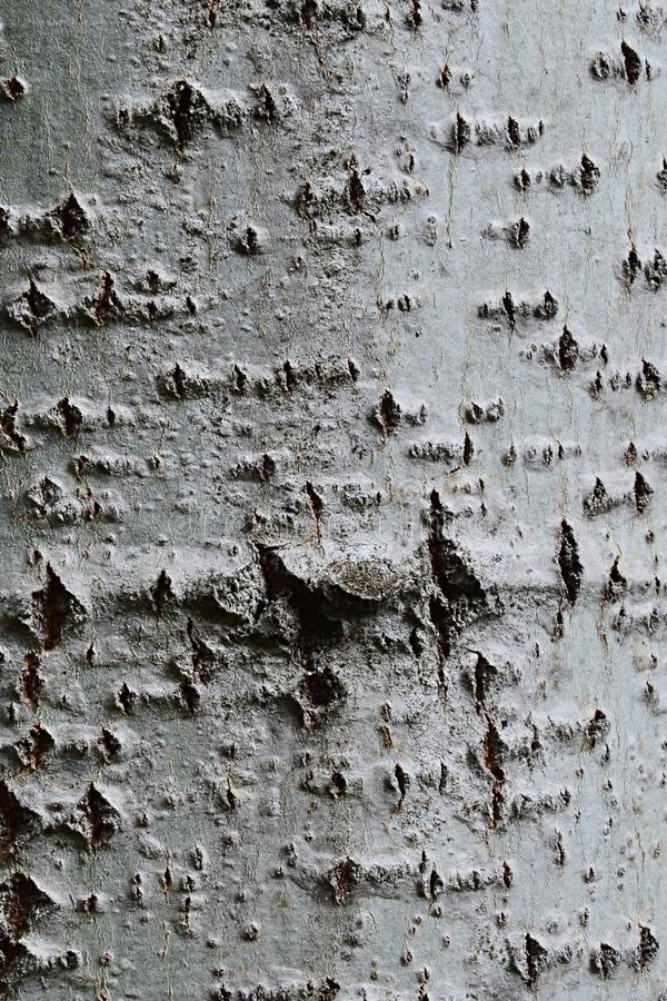 Lisci la struttura di legno della corteccia del populus canadensis del pioppo canadese dell'albero o del pioppo della Carolina fotografie stock