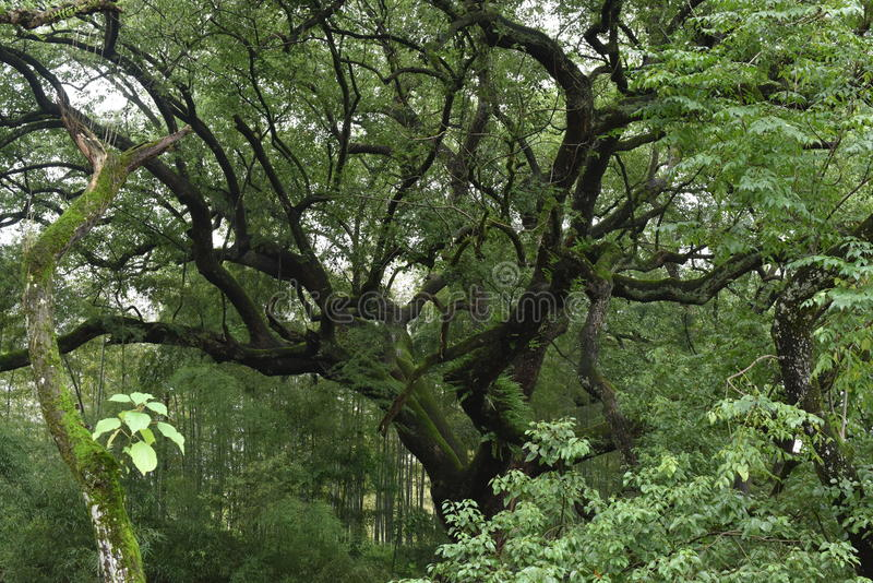 Lishui forest royalty free stock photography