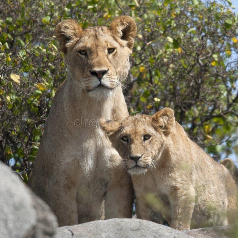 lisiątek lwa lwicy serengeti fotografia stock