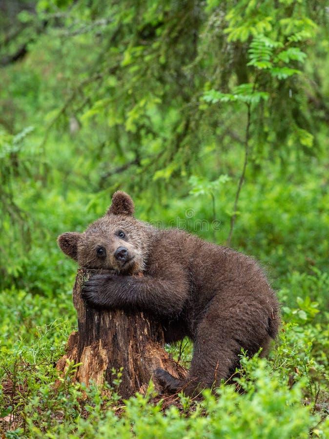 Lisiątko niedźwiedź brunatny w lata lasowym Naturalnym siedlisku Naukowy imi?: Ursus arctos zdjęcie royalty free
