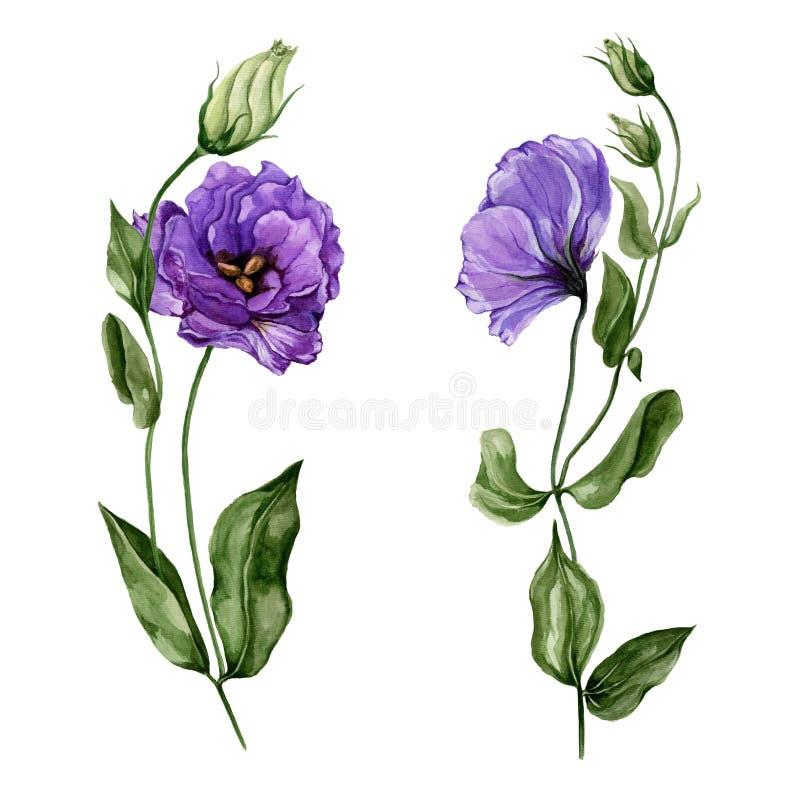 Lisianthus roxo bonito da flor do eustoma na flor completa em uma haste verde com folhas e os botões fechados Grupo botânico ilustração royalty free