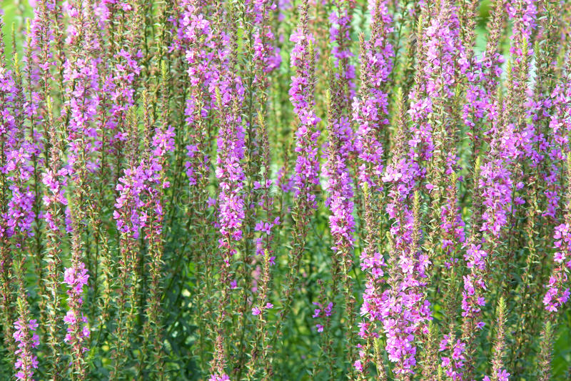 Lisimaquia púrpura foto de archivo libre de regalías