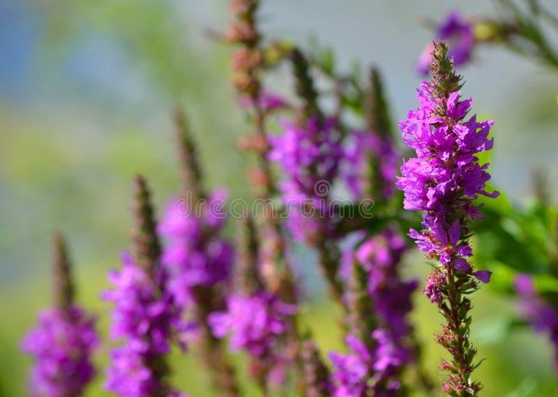 Lisimaquia púrpura fotografía de archivo libre de regalías