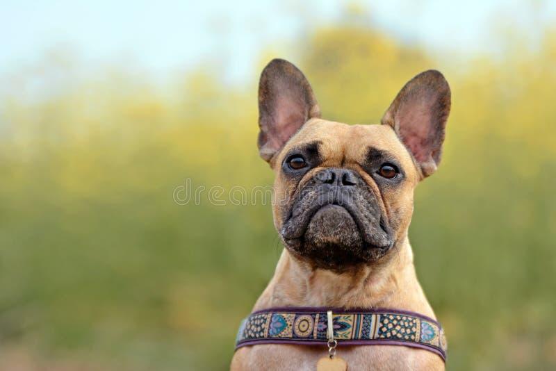 Lisma den kvinnliga för hundhuvudet för den franska bulldoggen ståenden på oskarpt gult rapsfröfält arkivfoto