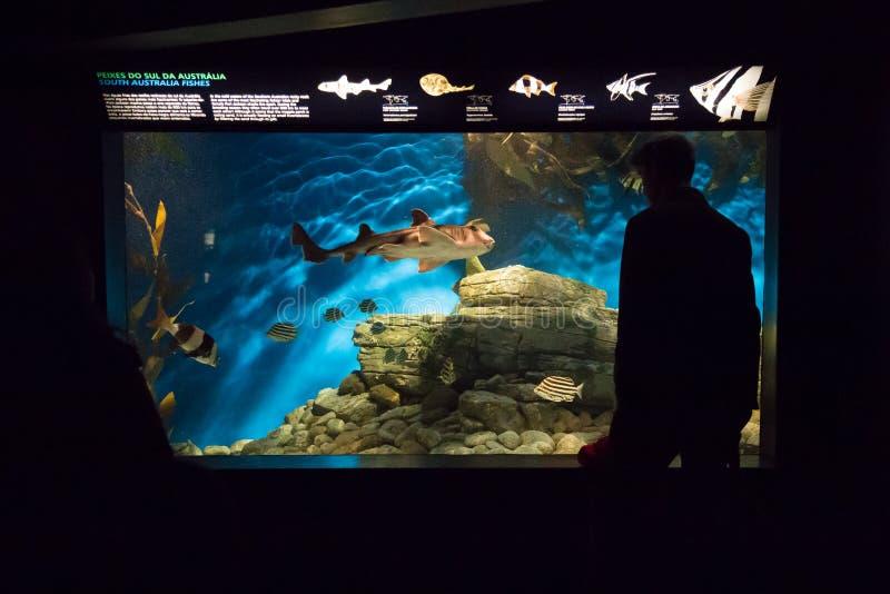Lissabon Oceanarium - Betrachten von Aquariums-Süd-Australien-Fischen stockbilder