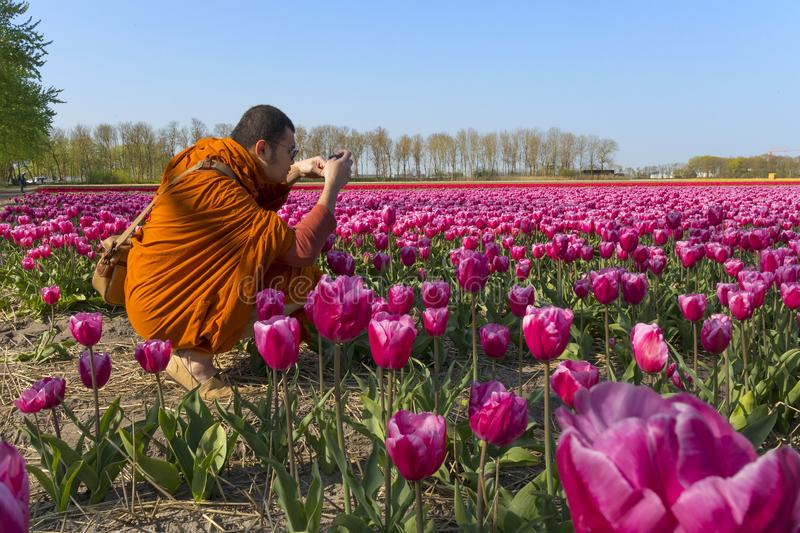 Buddhist monk photographing the traditional Dutch tulip fields with rows of pink, red and yellow royalty free stock image