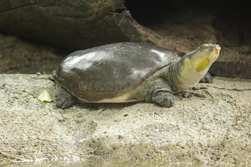 Lissemys punctata is popular as a pet. Found distribution in the Indian continent stock image