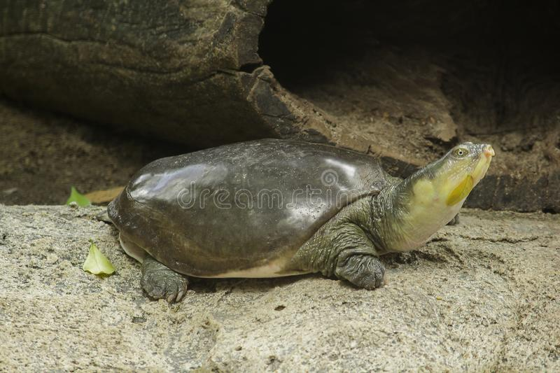 Lissemys punctata is popular as a pet. Found distribution in the Indian continent stock photography