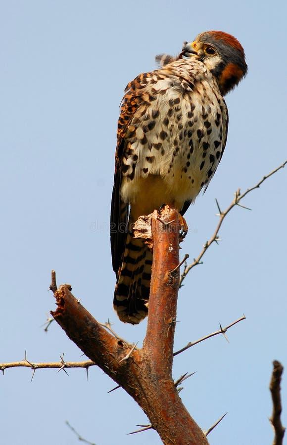 Lisser américain de faucon de crécerelle/moineau photo libre de droits