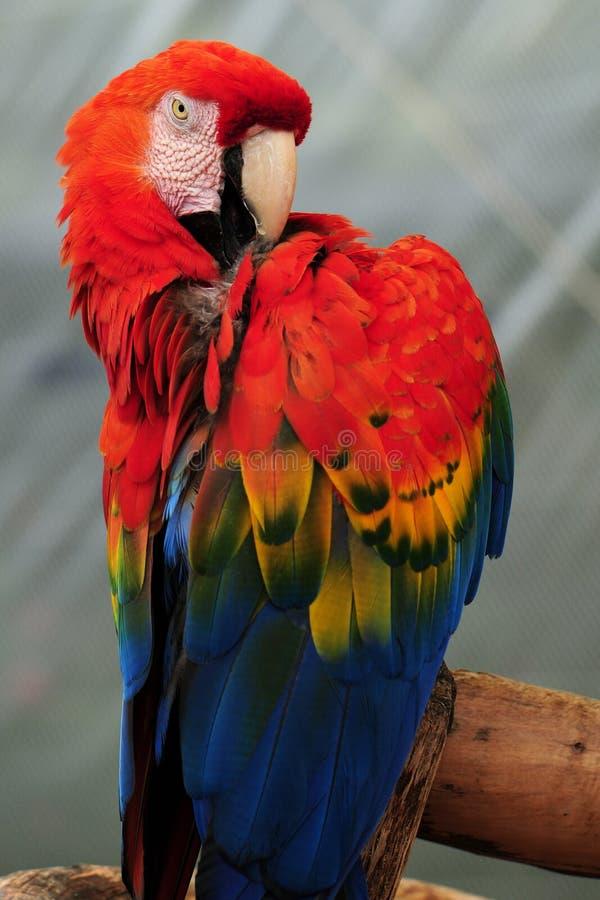Lisser d'oiseau de Macaw d'écarlate photo libre de droits