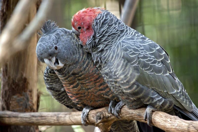lisser de perroquet de Bande-bande photo stock