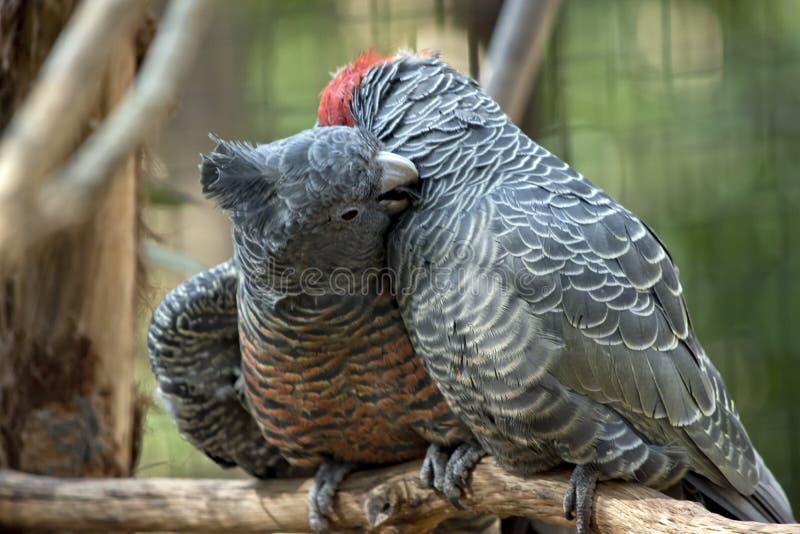 lisser de perroquet de Bande-bande photos libres de droits
