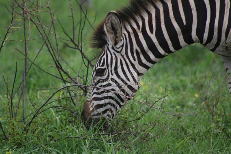 listning斑马的特写镜头吃草和 免版税库存照片
