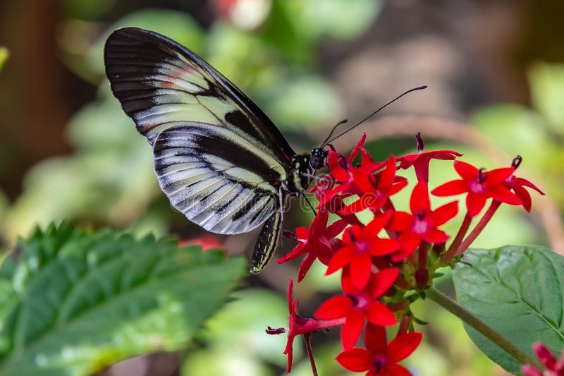 Listonosza Heliconius Motyli karmienie na pentas lanceolata zdjęcia stock