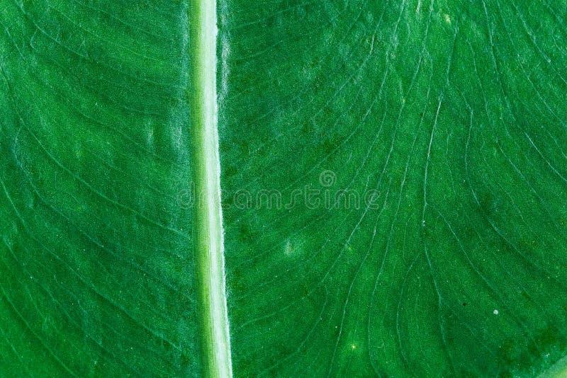 Listrado da folha verde, o teste padrão das folhas é occu naturalmente detalhado imagens de stock