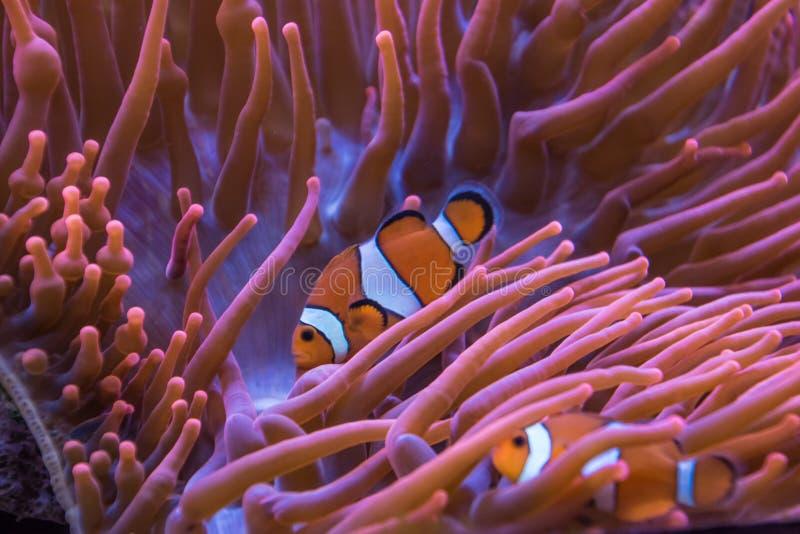 Listras alaranjadas e brancas dos peixes do palhaço da anêmona imagens de stock