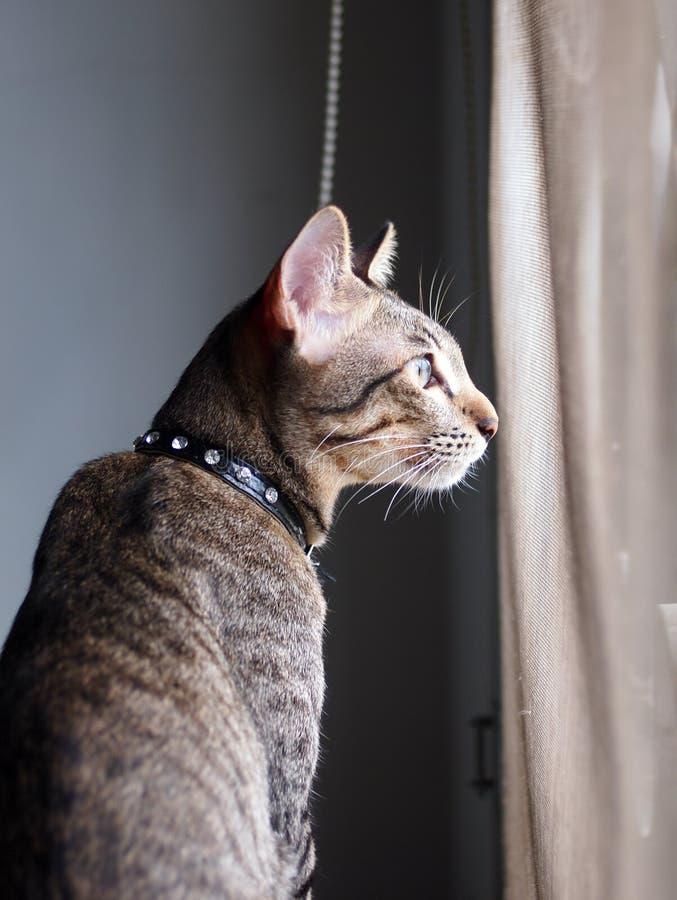 Listras cinzentas e pretas do gatinho asiático novo bonito do cabelo curto imagem de stock royalty free