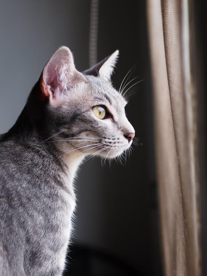 Listras cinzentas e pretas do gatinho asiático novo bonito do cabelo curto foto de stock