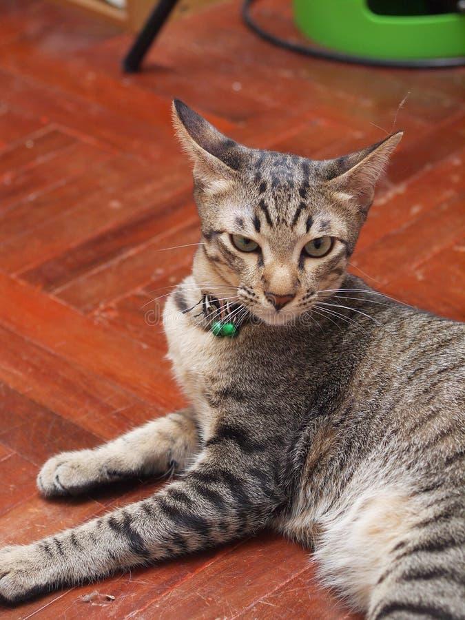 Listras cinzentas e pretas do gatinho asiático novo bonito do cabelo curto fotografia de stock royalty free