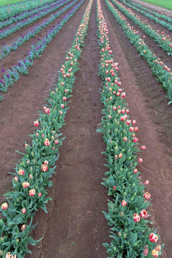 Listras dos tulips Colares vermelhos, roxos e brancos fotografia de stock