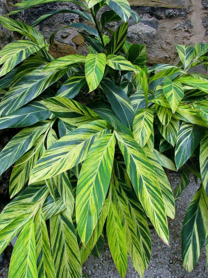 Listras verdes e amarelas na planta variegated do gengibre foto de stock royalty free