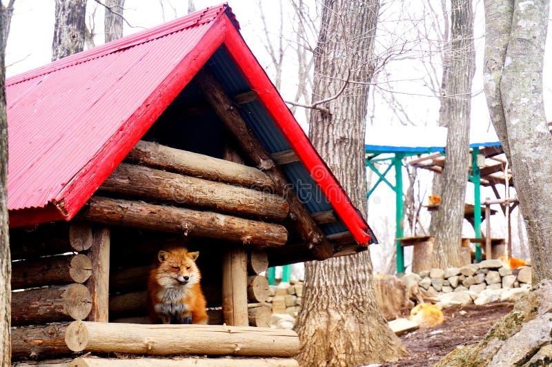 Lisy w Japońskiej lis wiosce obrazy royalty free