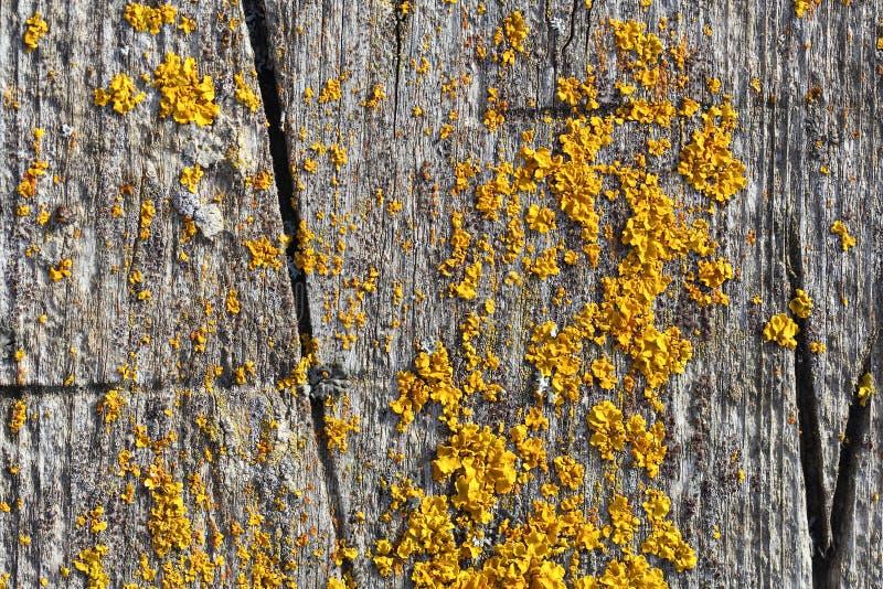 Liszajów złotorosty Parietina na Drewnianej powierzchni obrazy stock