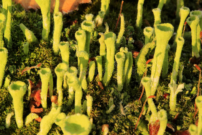 Liszaj (Cladonia fimbriata) obraz royalty free