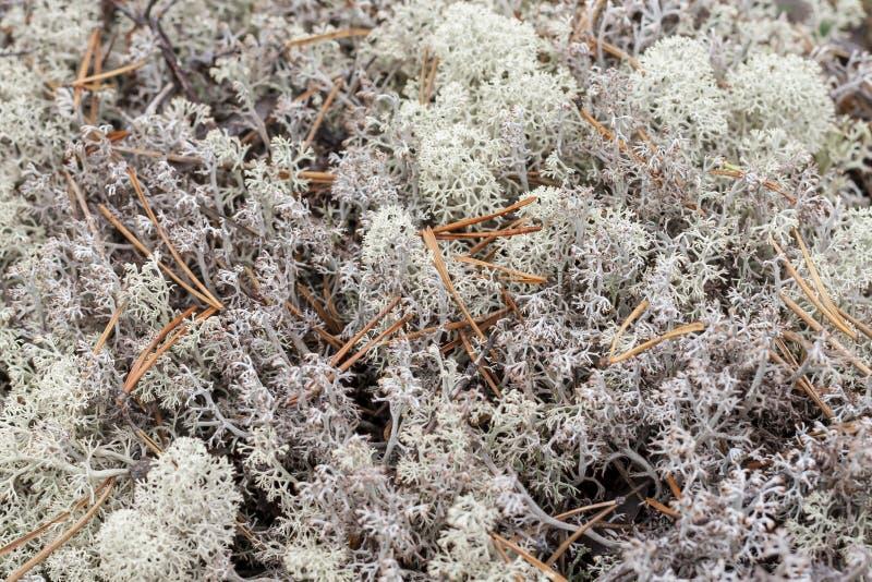 Liszaj - Cladonia rangiferina obrazy stock