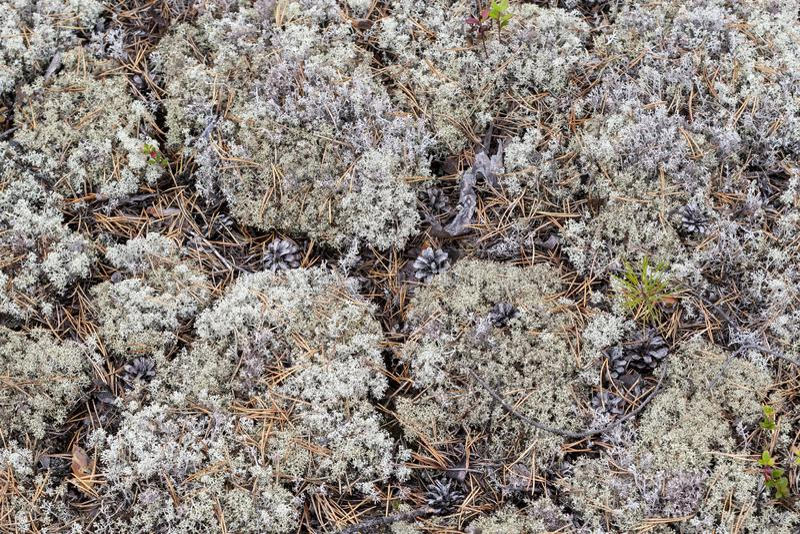 Liszaj - Cladonia rangiferina obraz royalty free