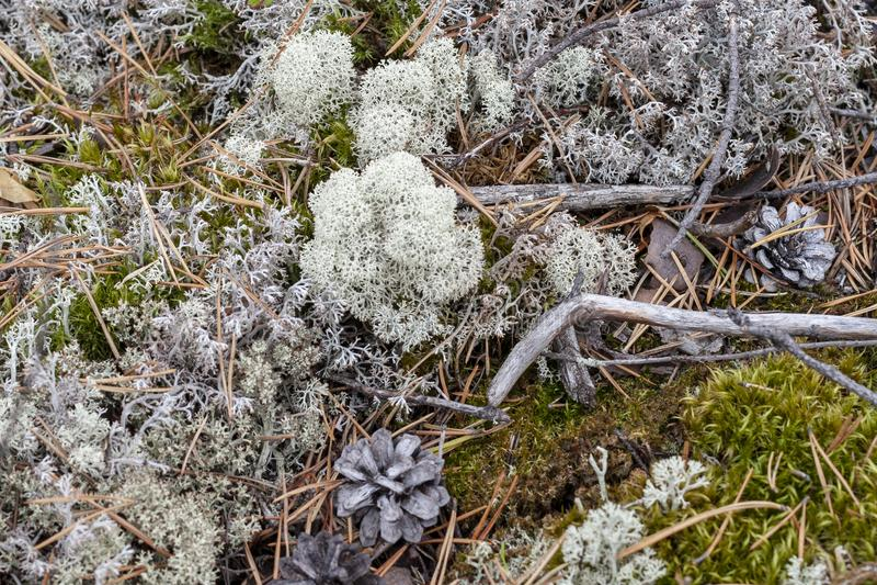 Liszaj - Cladonia rangiferina fotografia royalty free