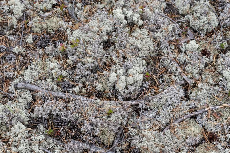 Liszaj - Cladonia rangiferina obrazy royalty free
