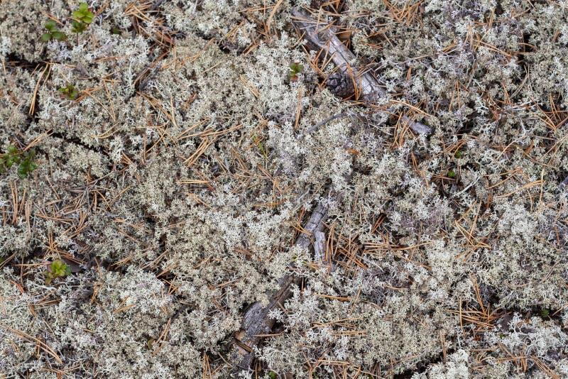 Liszaj - Cladonia rangiferina zdjęcie stock