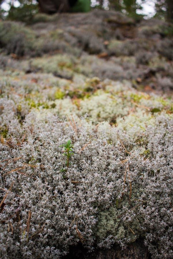 Liszaj & x28; Lichenes& x29; zdjęcia stock