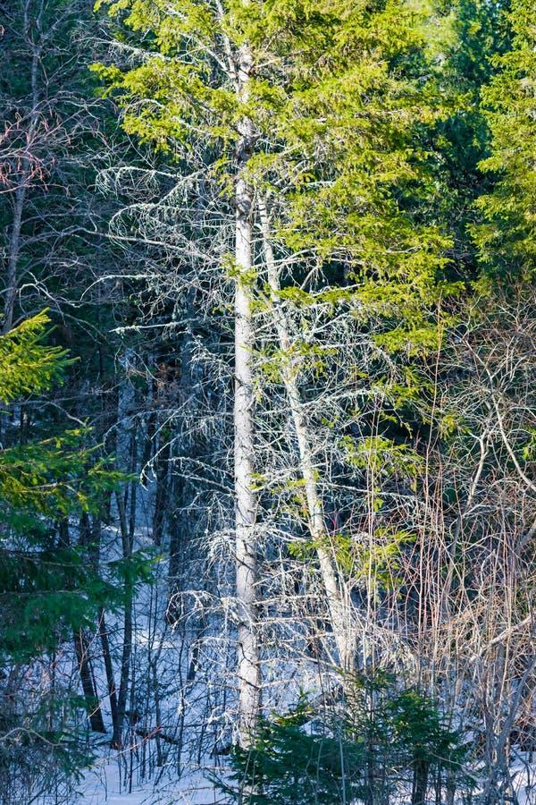 Liszaj na gałąź stara świerczyna w iglastym lesie, obrazy stock