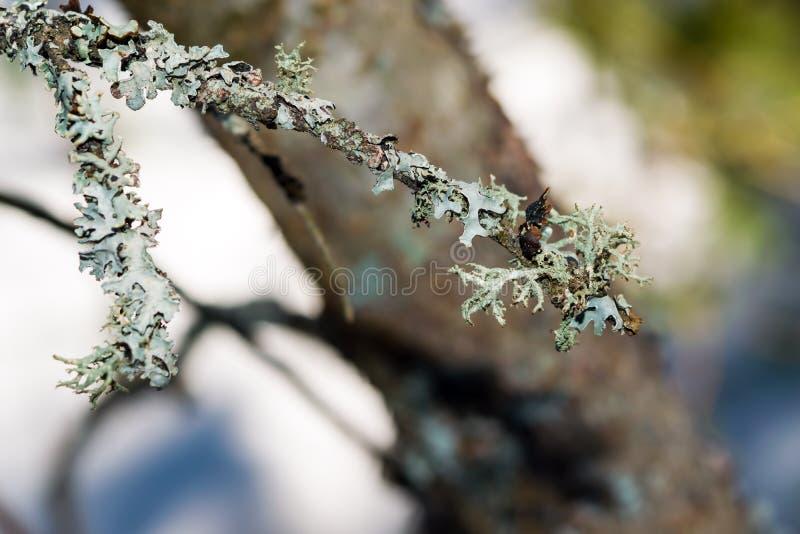 Liszaj na gałąź stara świerczyna w iglastym lesie, zdjęcia royalty free