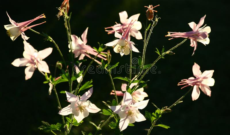 The lit aquilegia against a dark background. stock photography